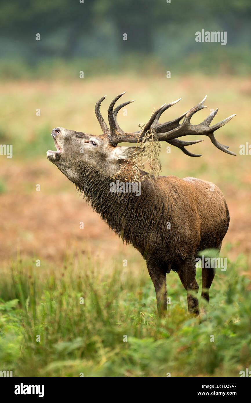 Red deer (Cervus elaphus) stag roaring with headwear during rutting season - Stock Image