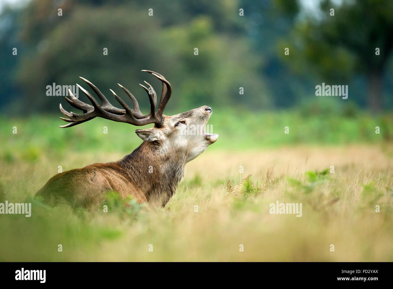 Red deer (Cervus elaphus) stag roaring during rutting season - Stock Image