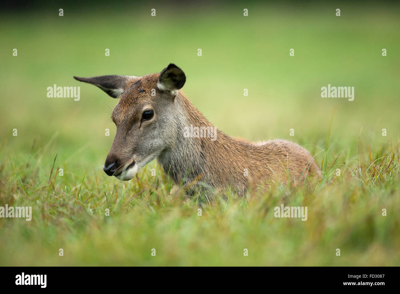 Young red deer (Cervus elaphus) laying down - Stock Image