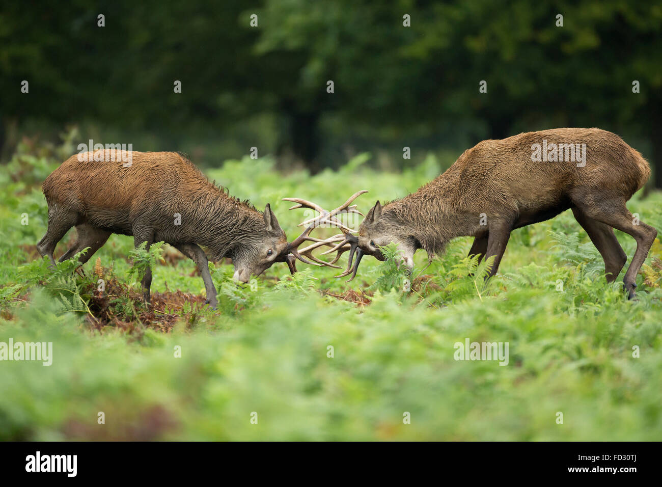 Red deer (Cervus elaphus) stags battle during rutting season - Stock Image