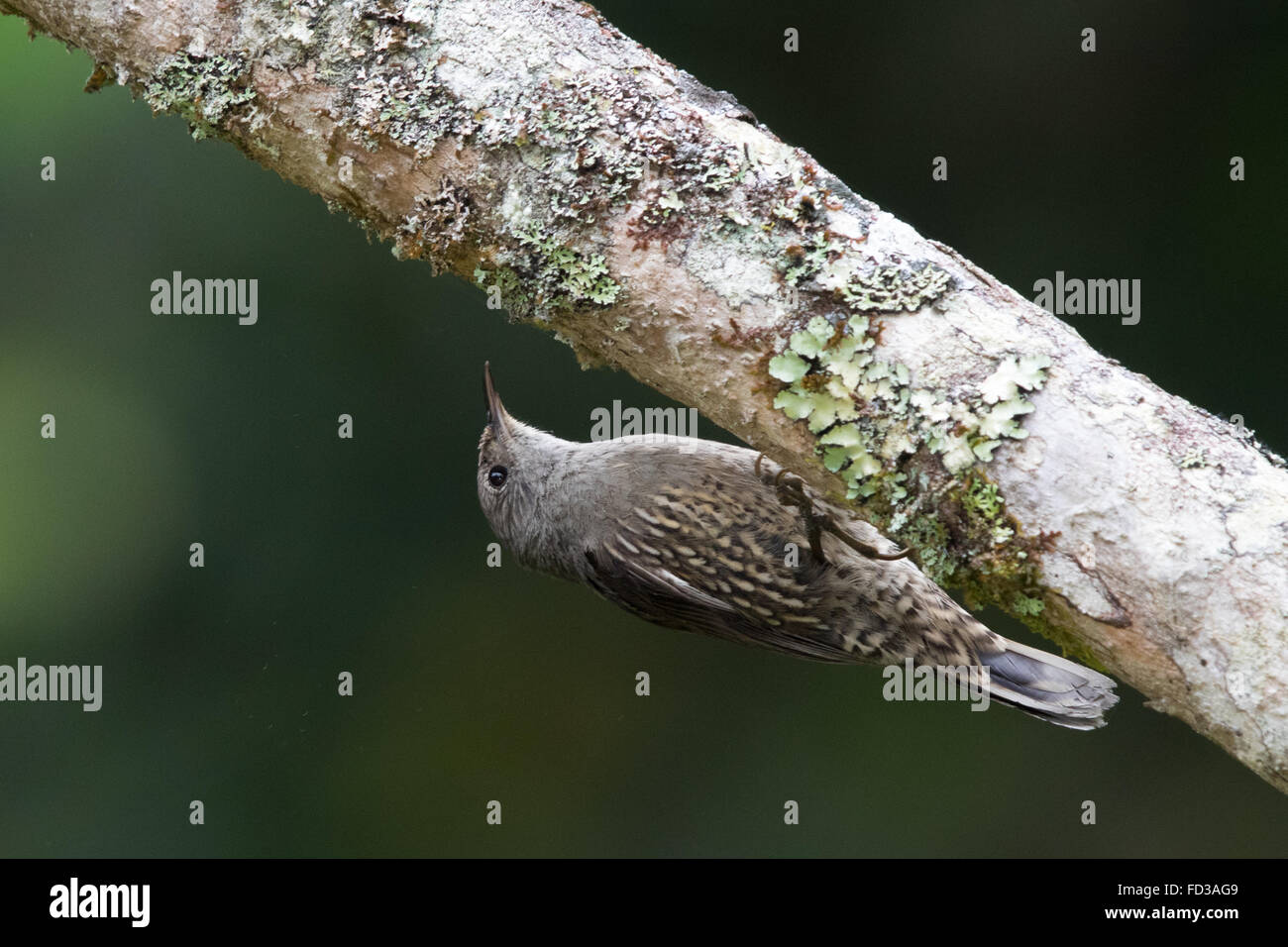 Brown Treecreeper (Climacteris picumnus) upside down on a tree branch - Stock Image