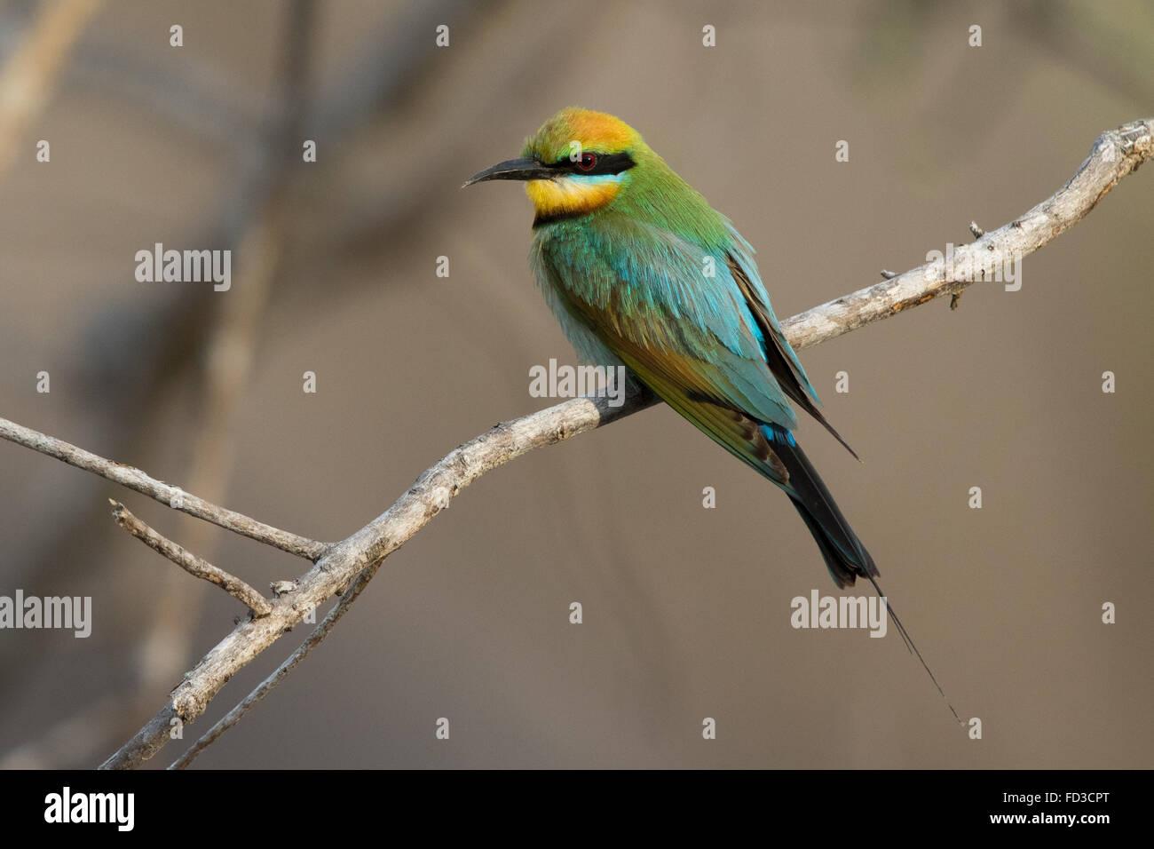 male Rainbow Bee-eater (Merops ornatus) - Stock Image