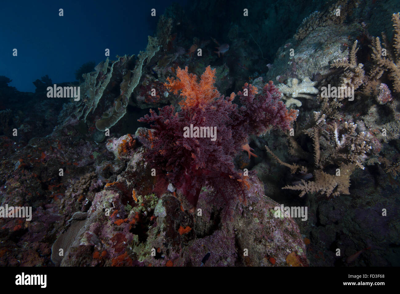 Soft coral on a healthy Fijian reef. - Stock Image