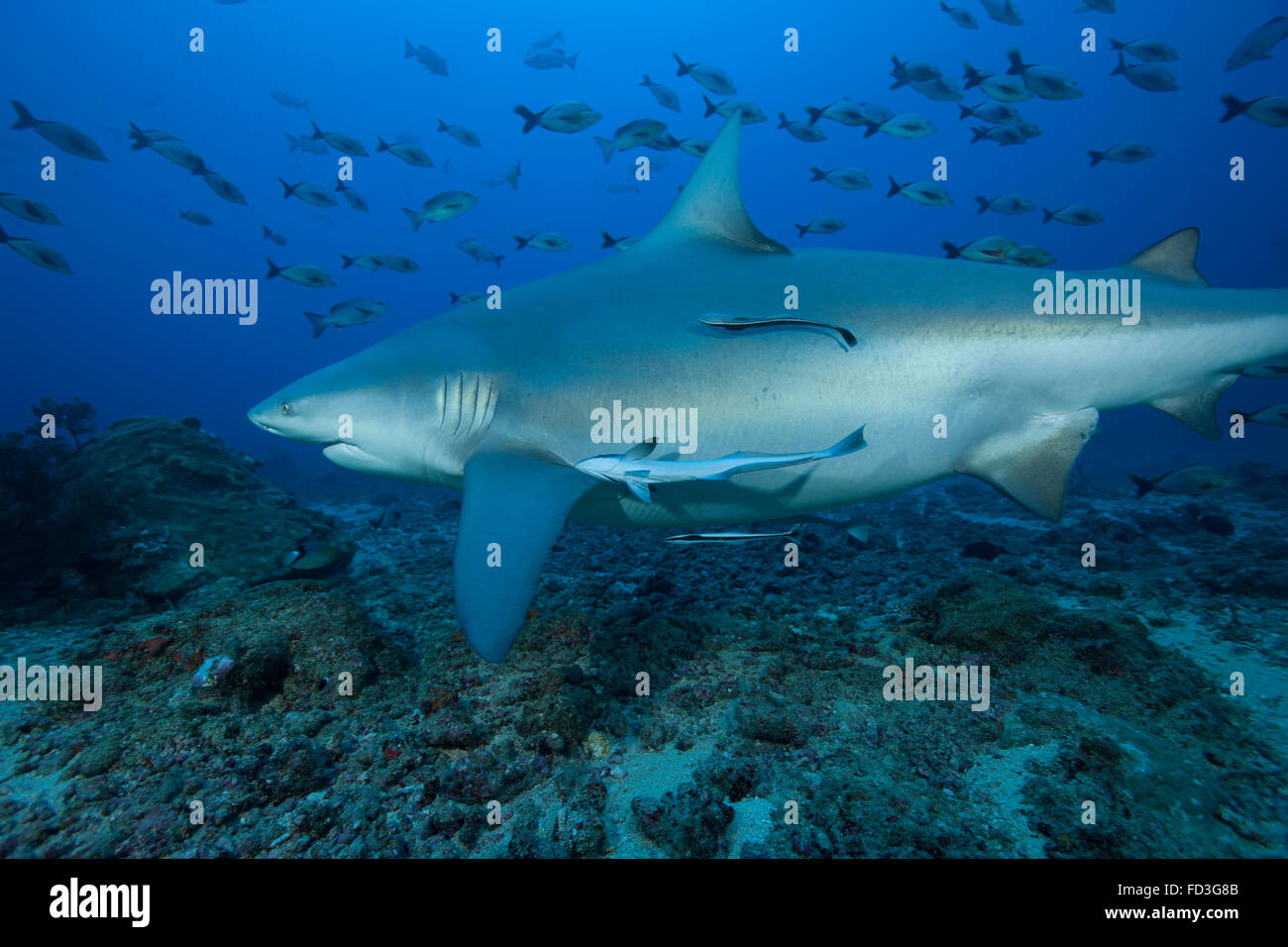 A large bull shark (Carcharhinus leucas) at The Bistro dive site in Fiji. Stock Photo