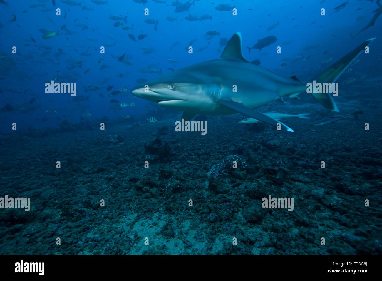 Silvertip shark (Carcharhinus albimarginatus) at The Bistro Dive site in Fiji. Stock Photo