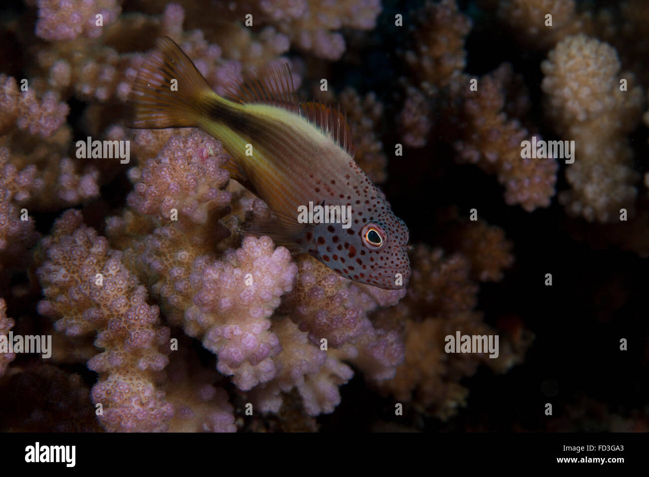 Freakled hawkfish (Paracirrhites forsteri) sits on some Acropora coral on a Fijian reef. - Stock Image