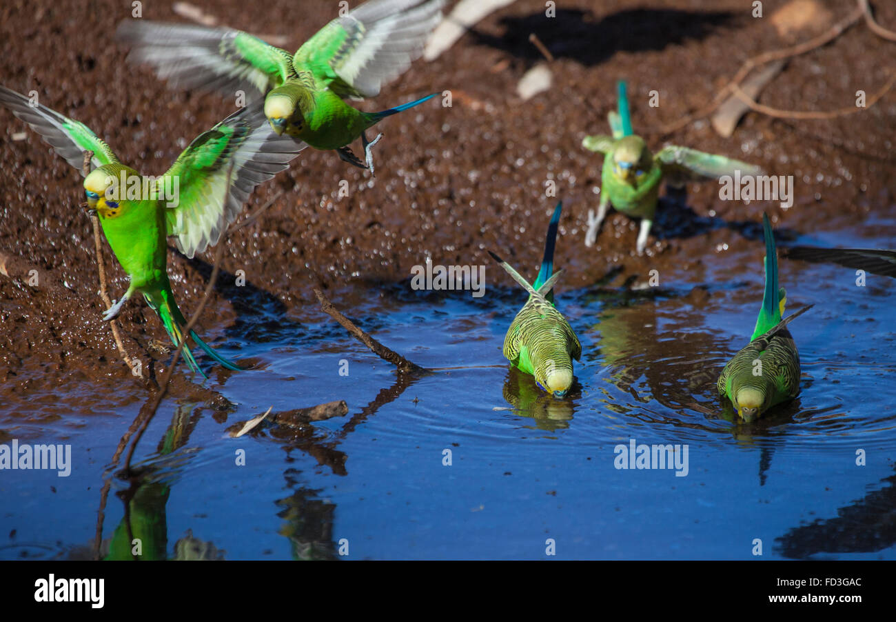 Wild budgerigars (Melopsittacus undulatus) drinking at a waterhole at Emily Gap, East MacDonnell Ranges, Central - Stock Image