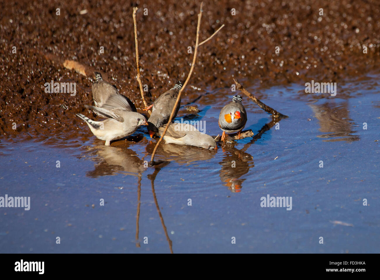 Zebra finches (Taeniopygia guttata) drinking at at a water hole at Emily Gap, East MacDonnell Ranges, Central Australia. - Stock Image