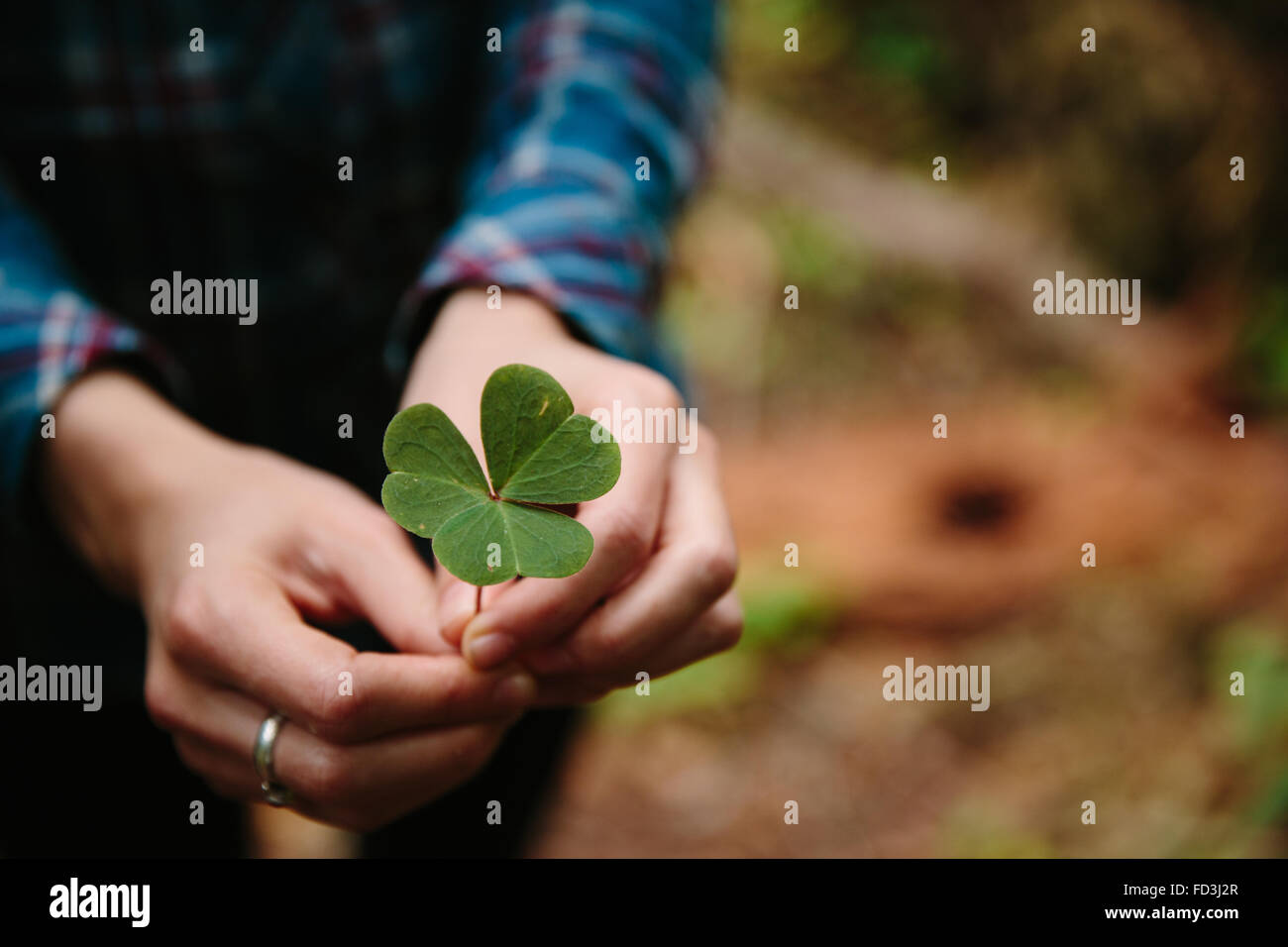 Woman holds clover leaf in her hands - Stock Image