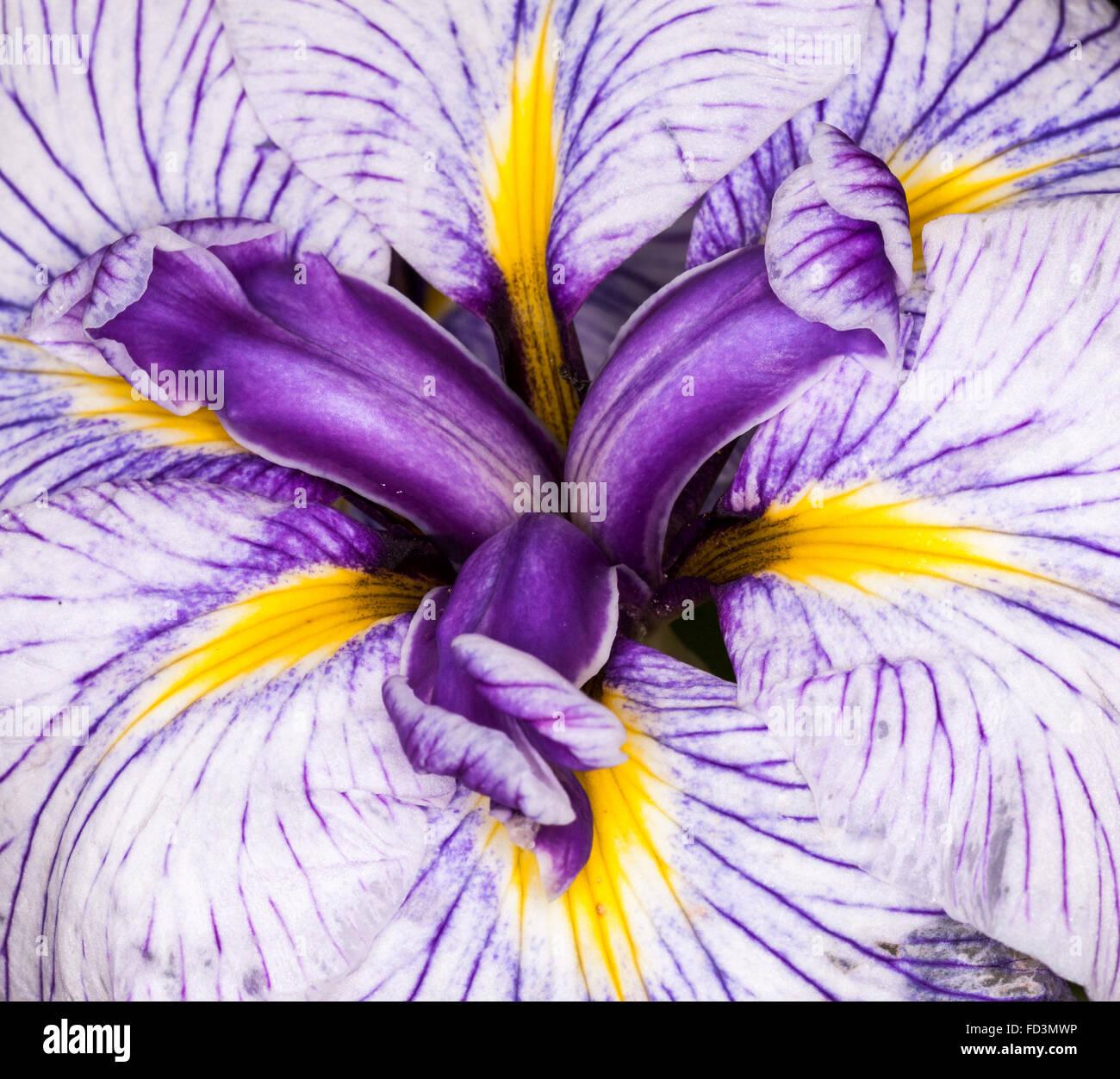 Iris Is A Genus Of Species Of Flowering Plants With Showy Flowers