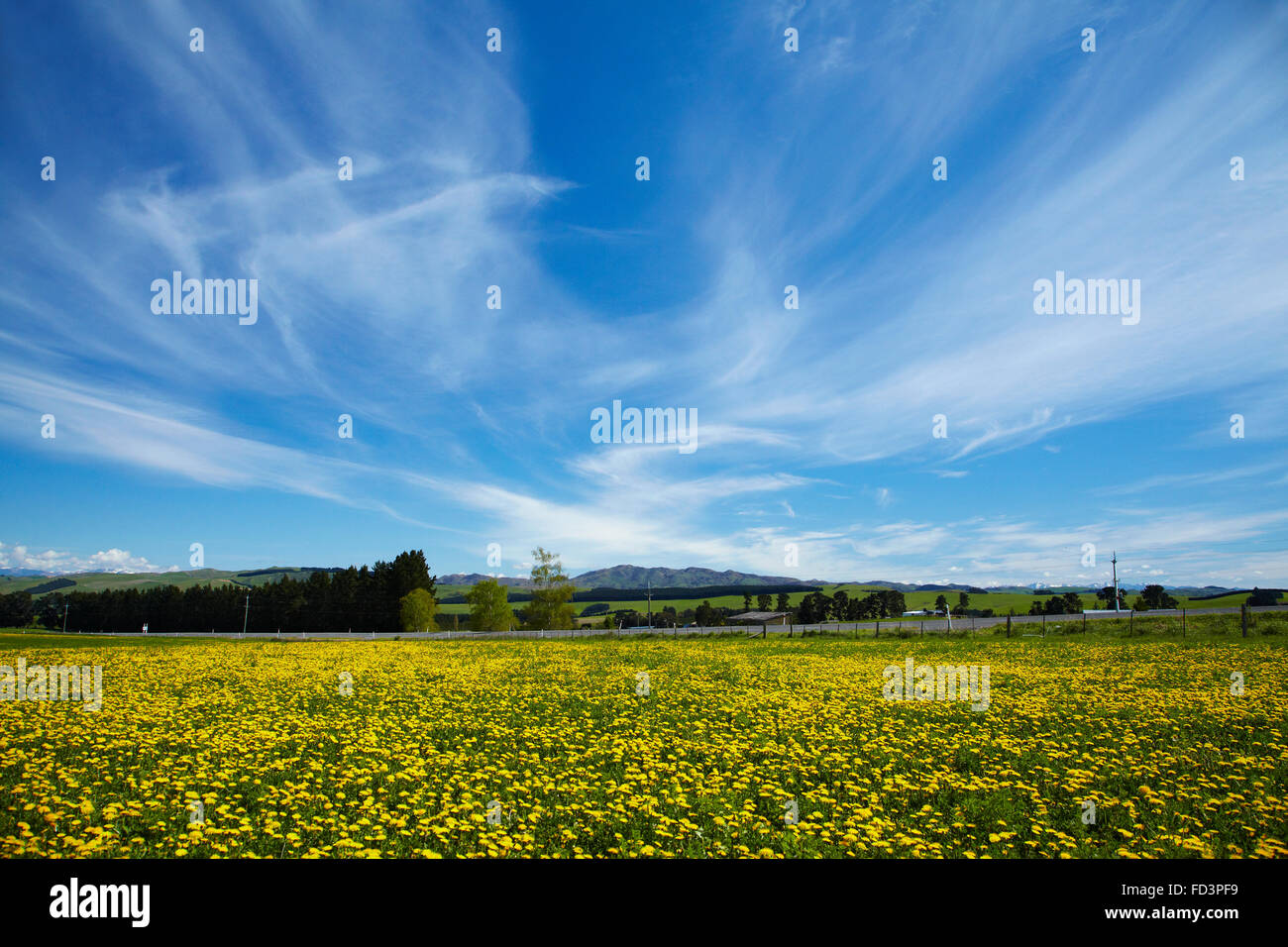 Field of dandelions, near Greta Valley, North Canterbury, South Island, New Zealand - Stock Image