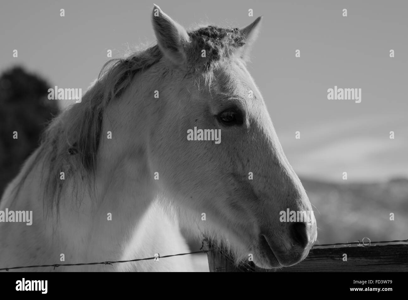 A couple of gray horses in a snowy field in Aspen, Colorado - Stock Image