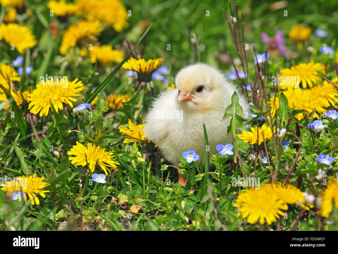 Young chicken in a grass Stock Photo