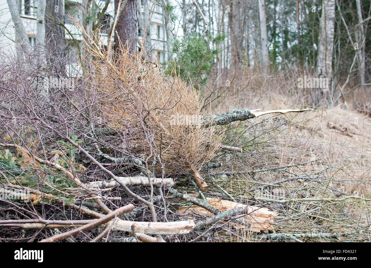 Thrown out old dry Christmas tree on heap of woods in Sweden in March. - Stock Image