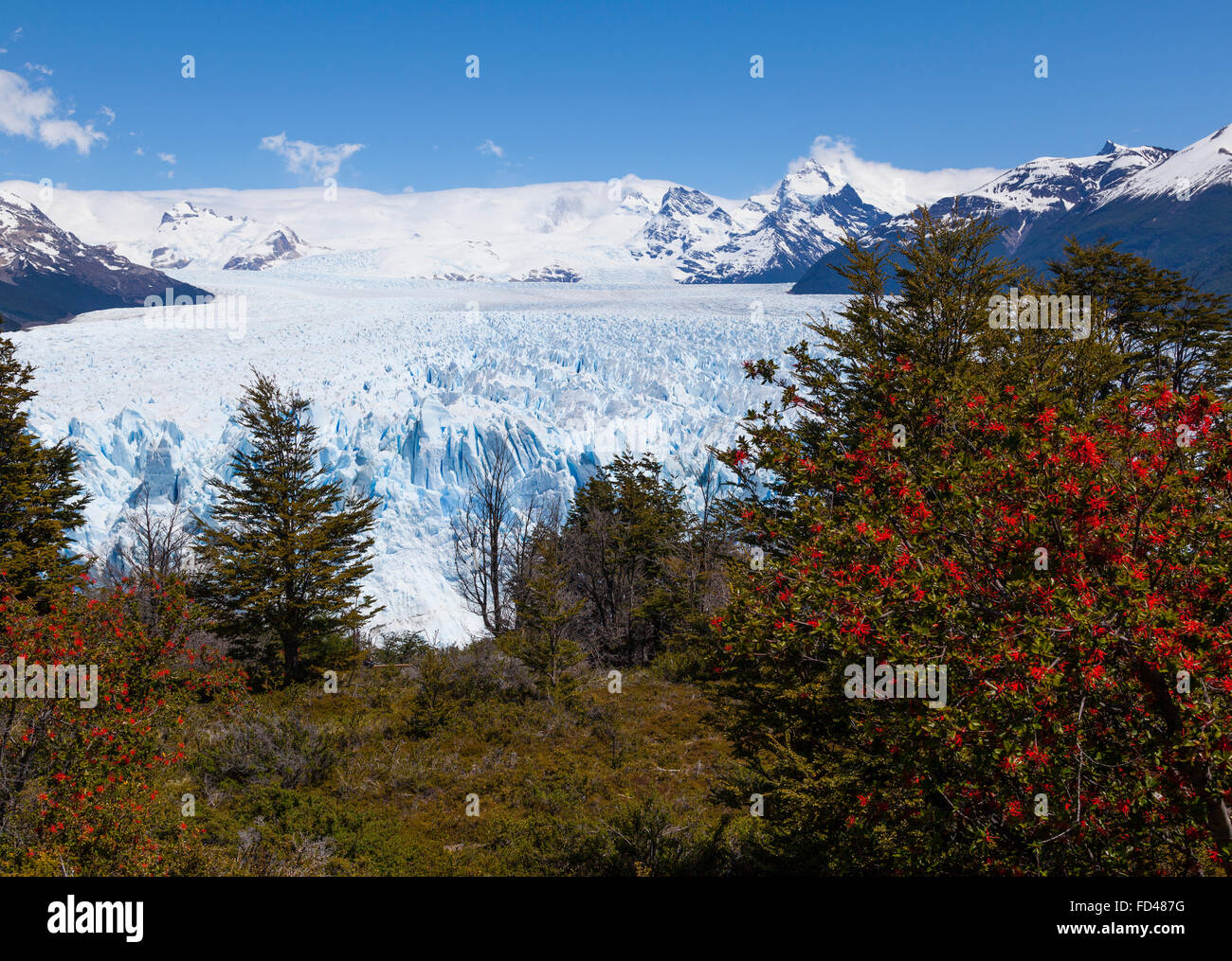 Moreno glacier with fire bush shrub, Patagonia, Argentina - Stock Image