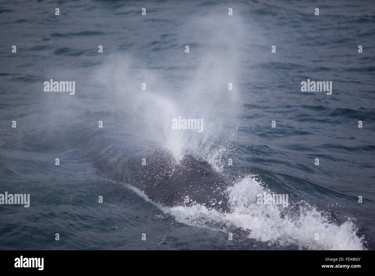Humpback Whale Spraying While Swimming In Sea Stock Photo