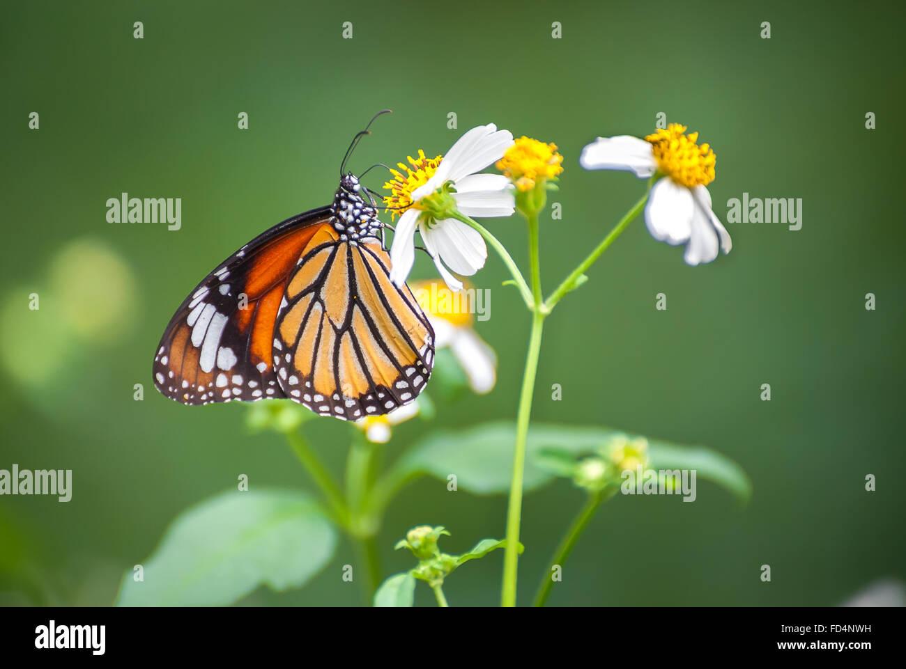 Closeup of the Common Tiger butterfly (Danaus genutia) feeding on a garden flower - Stock Image