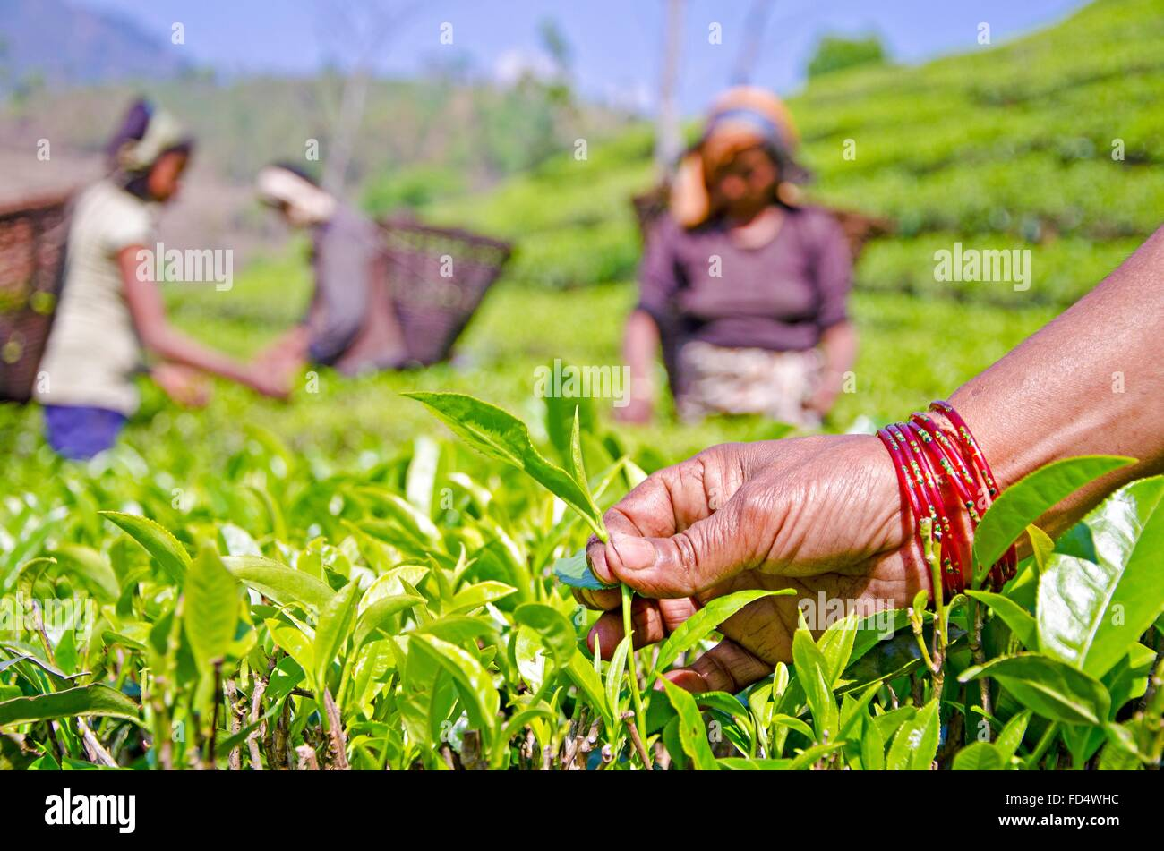 Women workers belonging to the EcoTea Cooperative pluck the first flush of organic tea on a farm March 31, 2013 - Stock Image