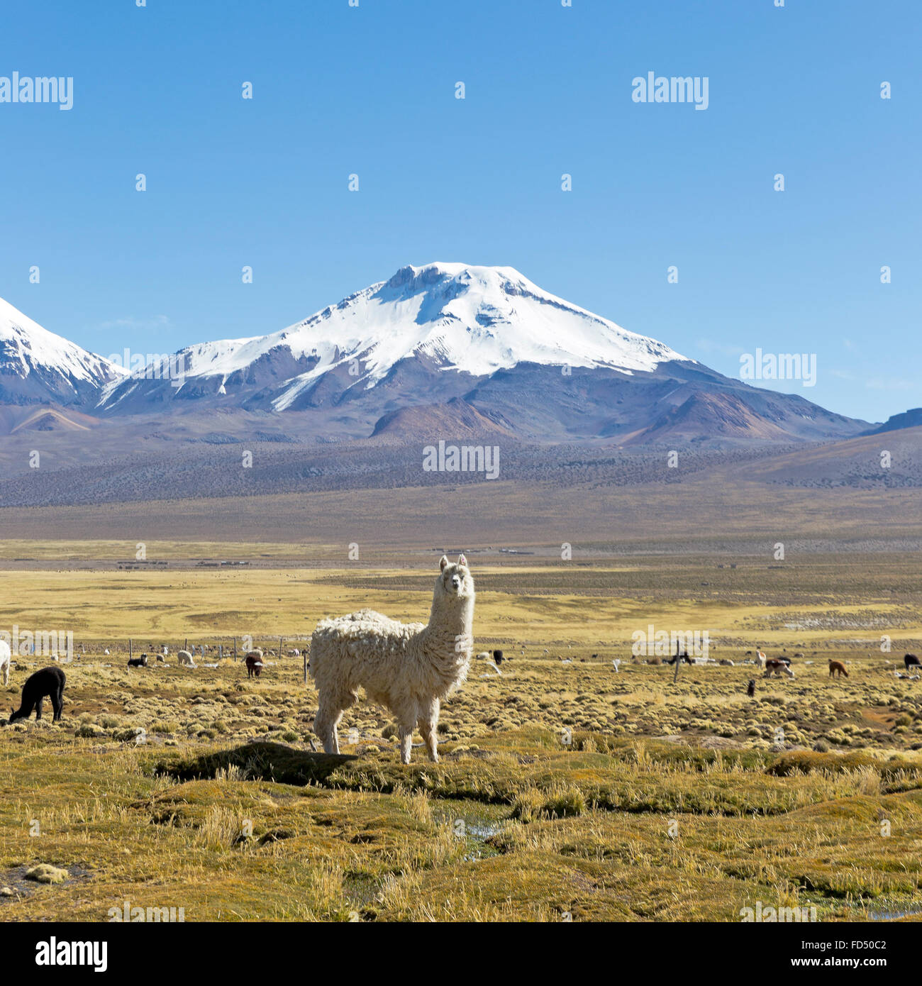 landscape of the Andes Mountains, with snow-covered volcano in the background, and a group of llamas grazing in - Stock Image