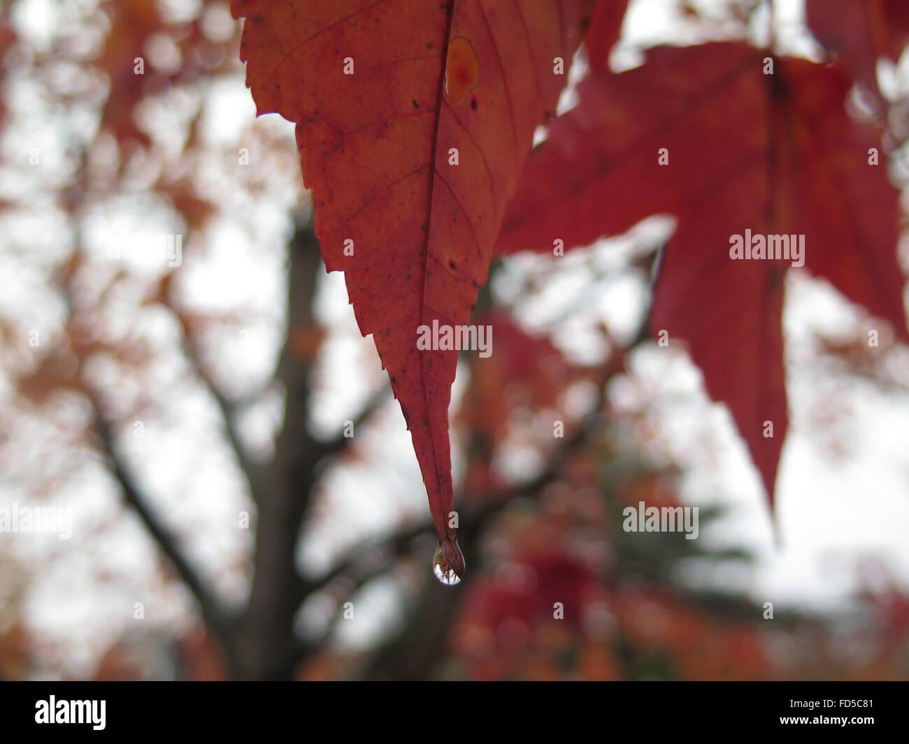 Waterdrop on Orange Coloured Leaf - Stock Image