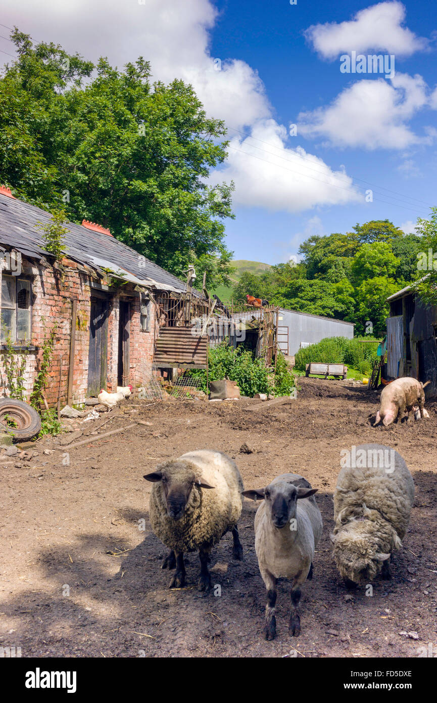 untidy small family farmyard, different species of farm animals wander round on very untidy small holding. - Stock Image
