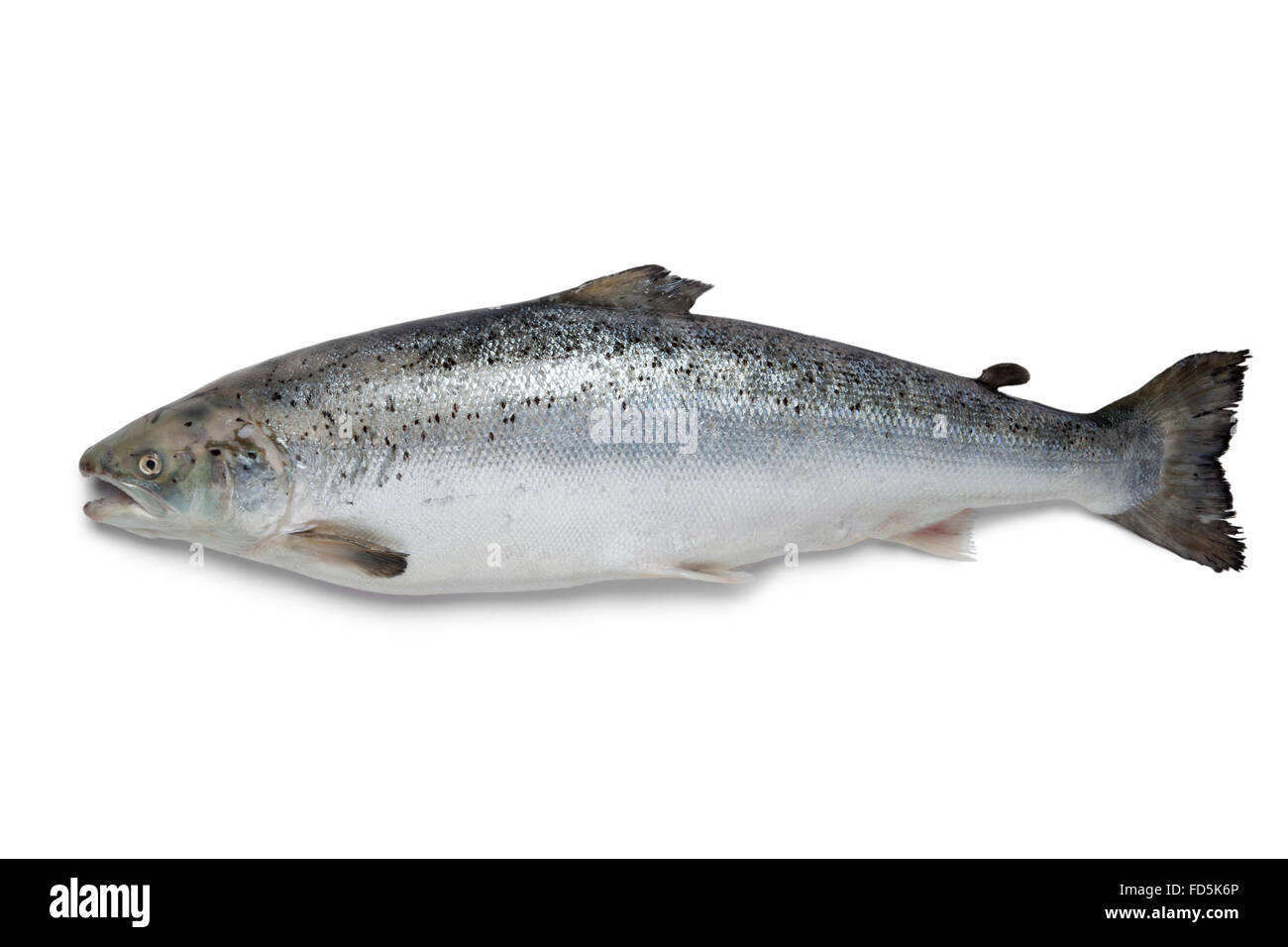 Fresh raw salmon fish on white background - Stock Image