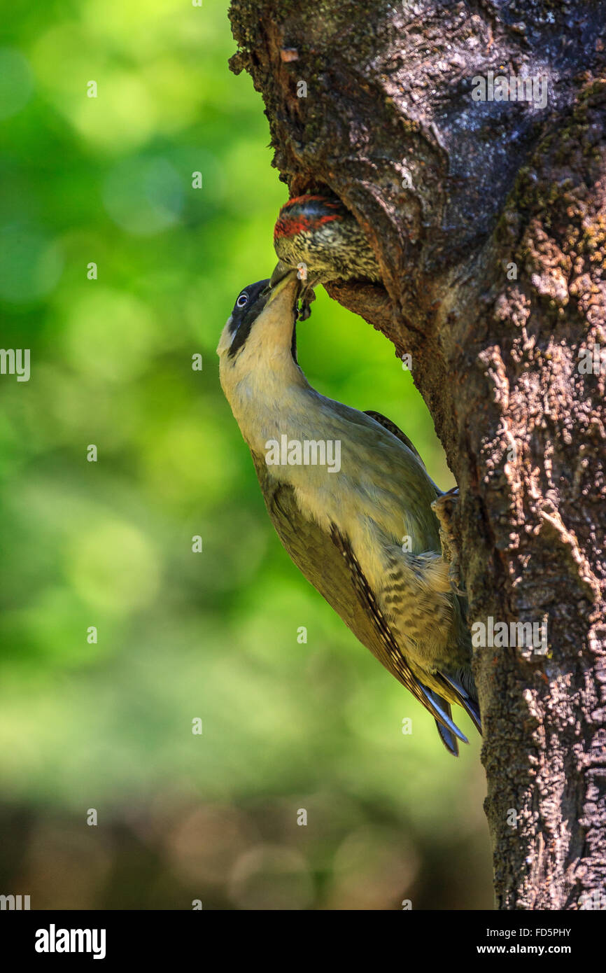 Green woodpecker feeding her chick (Picus Viridis) - Stock Image