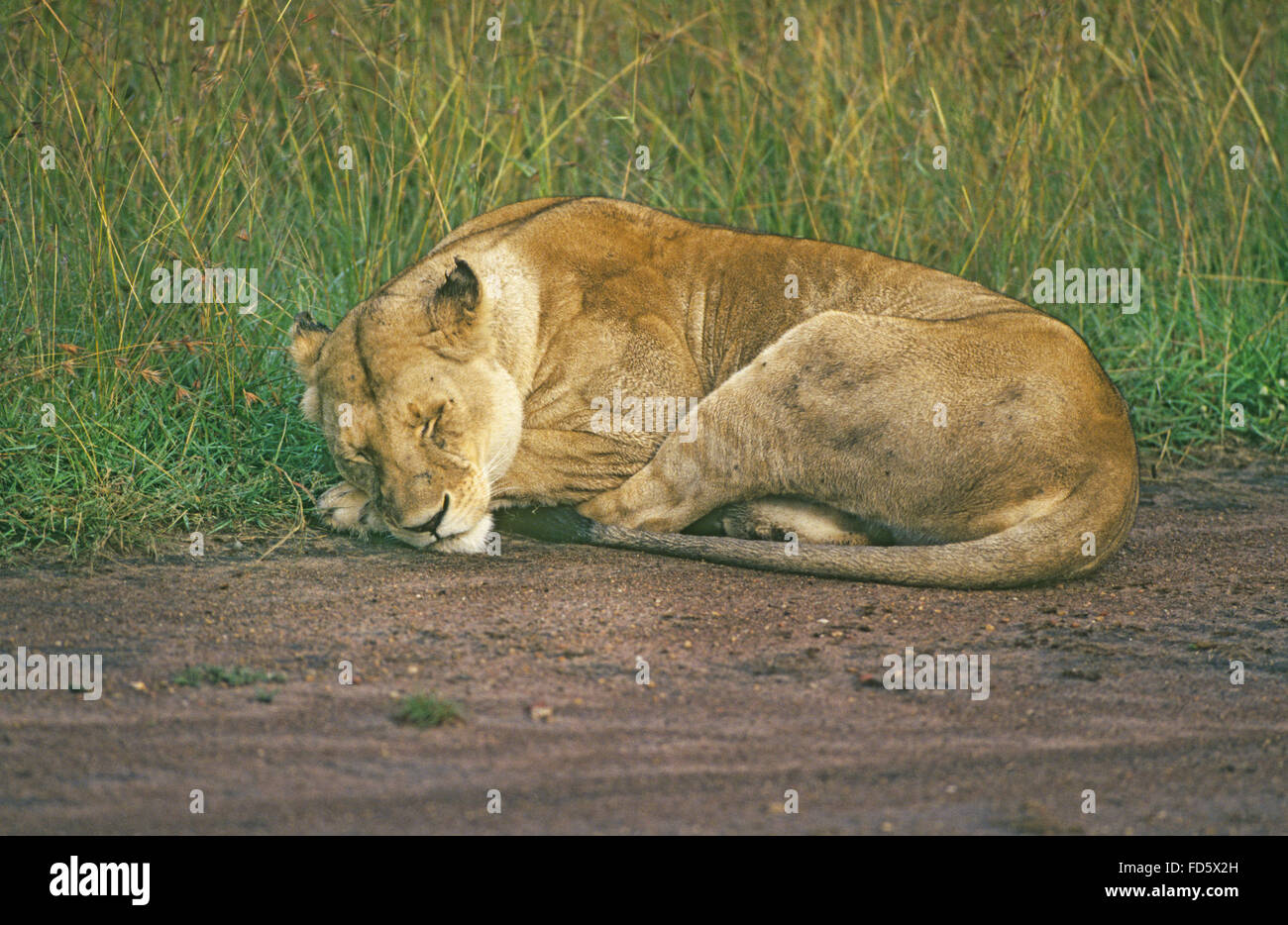 A large female African lioness snoozes in the heat of the day along a country road in Kenya, East Africa. - Stock Image