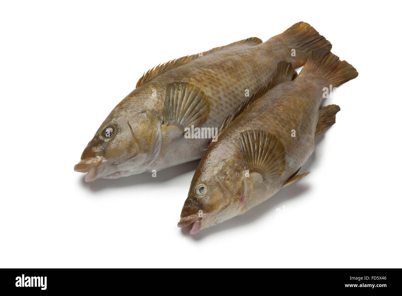 Two fresh brown wrasse fishes on white background - Stock Image