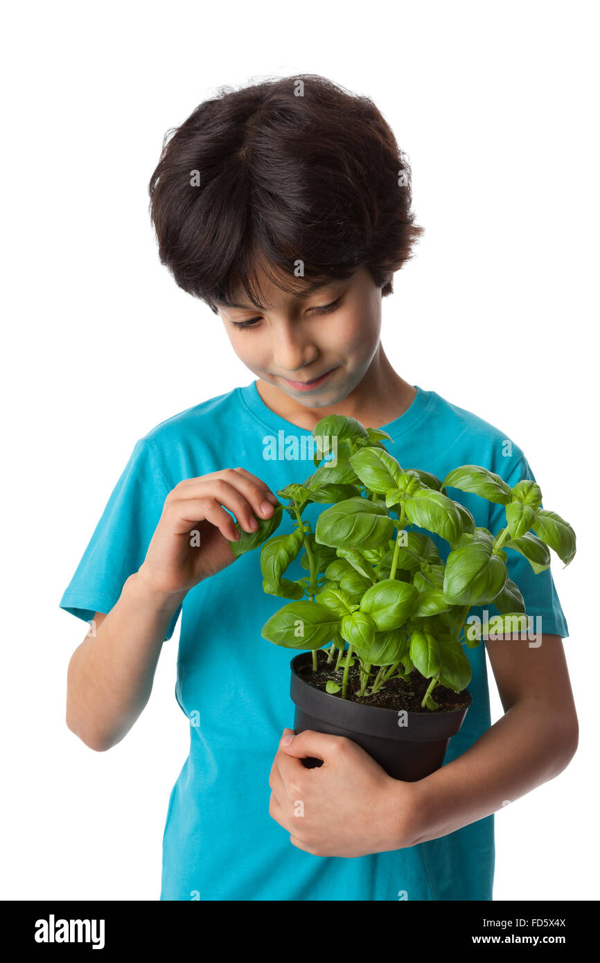 Eight year old boy picking basil leaves on white background - Stock Image