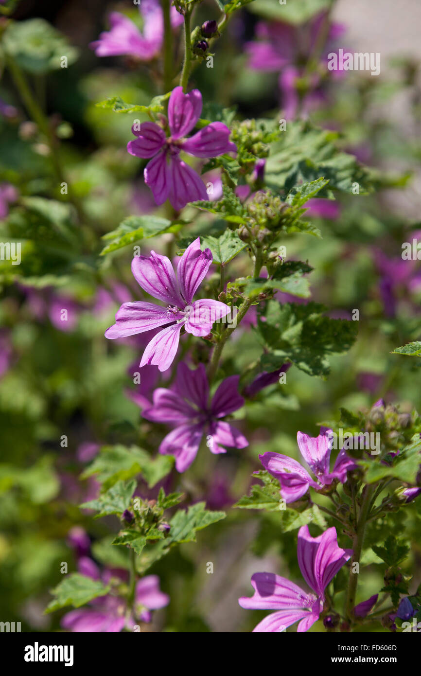 Pink flowering malva sylvestris - Stock Image