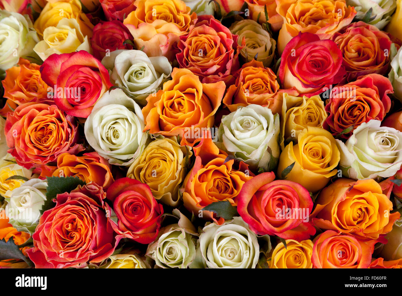 White, yellow and pink roses full frame - Stock Image
