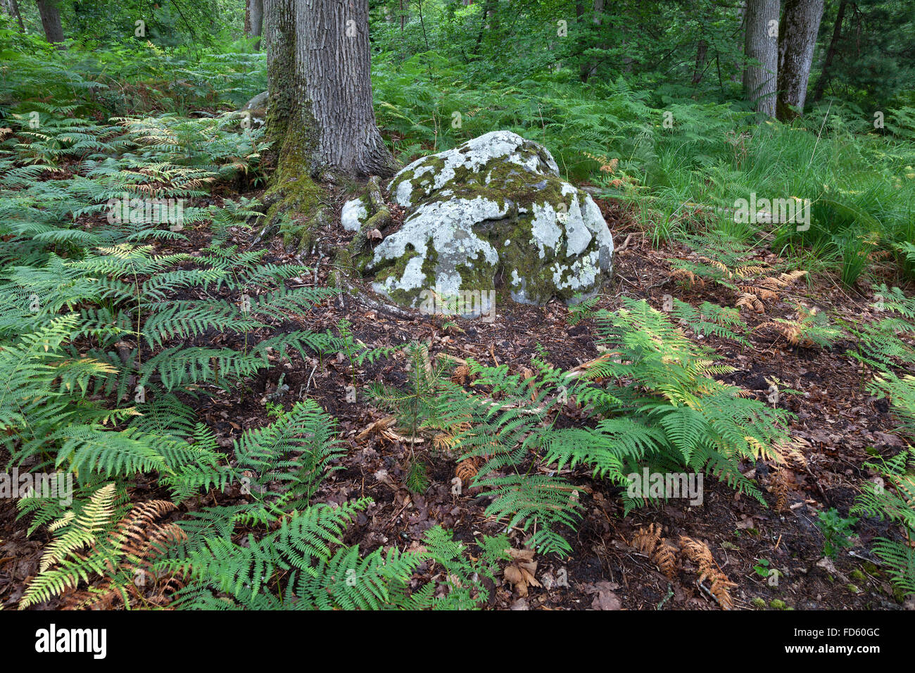 Ferns and a rock with moss in the wood - Stock Image
