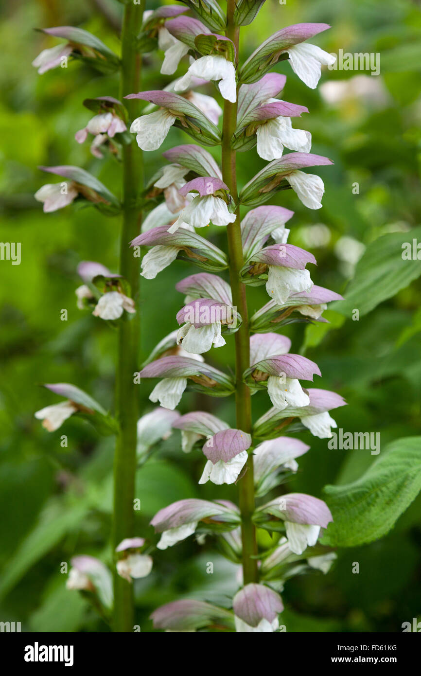 Fresh blooming Salvia sclarea - Stock Image