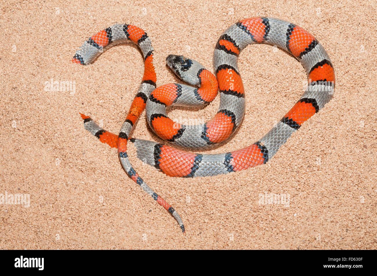 banded king snake