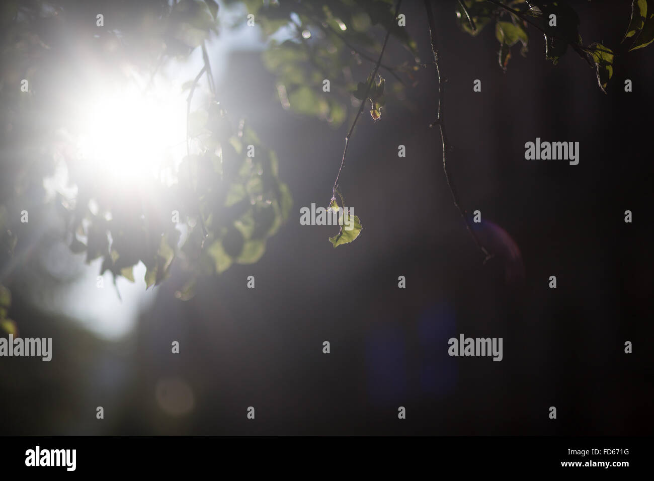 Sunlight Beaming Through Tree Leaves - Stock Image