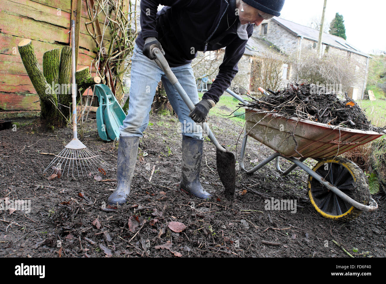 A senior woman tidying up the garden yard in preparation for spring in January winter Carmarthenshire Wales UK  - Stock Image