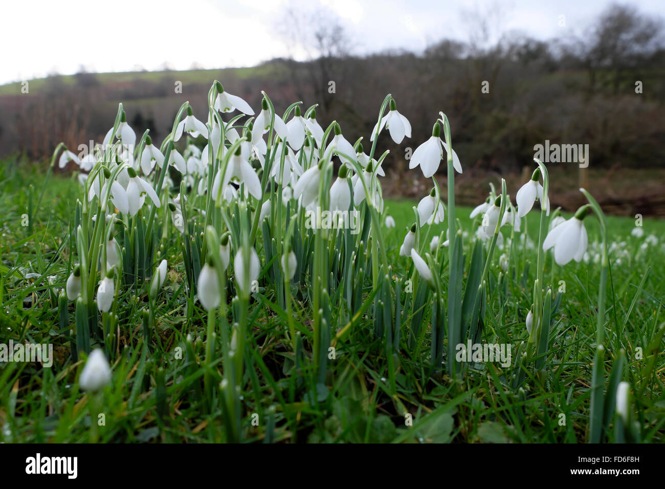 Snowdrops growing in a garden lawn in January 2016 in Carmarthenshire, Wales UK  KATHY DEWITT - Stock Image