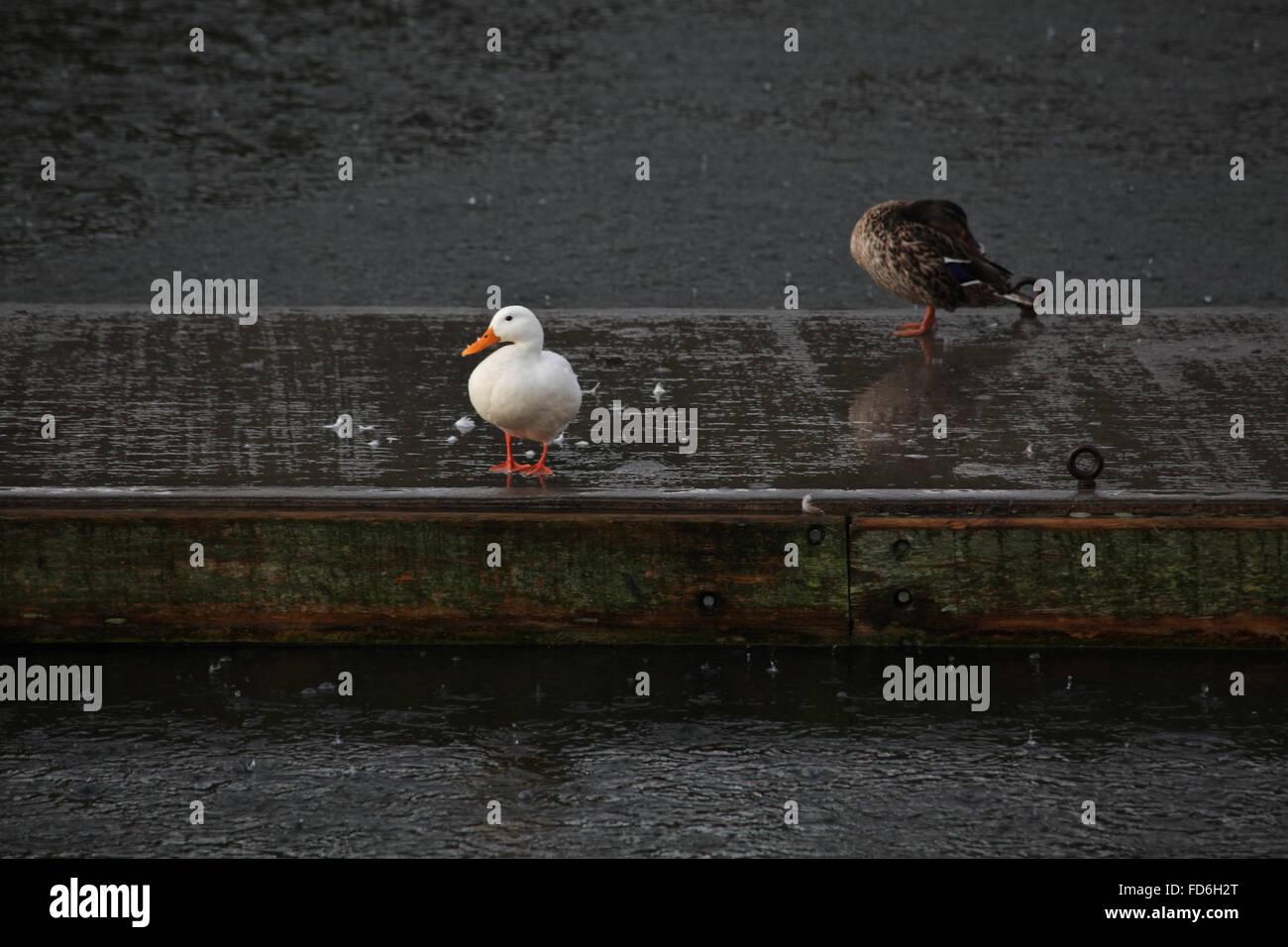 Ducks On Jetty - Stock Image