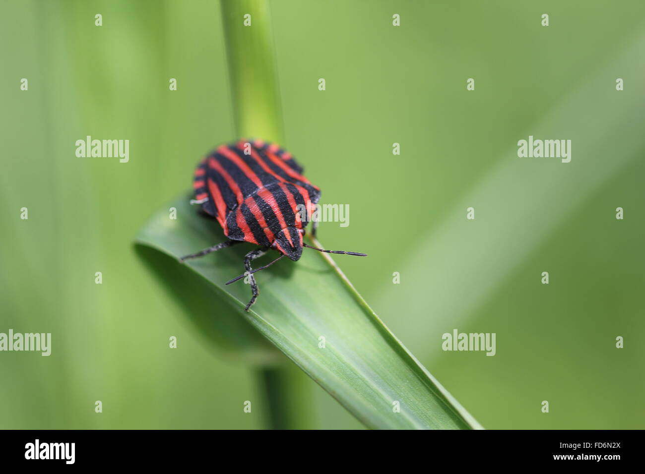 Beetle On Grass Blade - Stock Image
