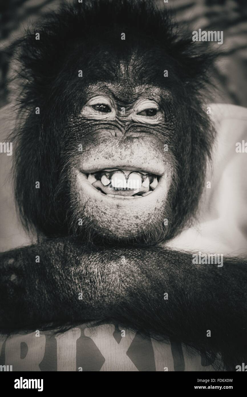 Close-Up Of Smiling Monkey - Stock Image