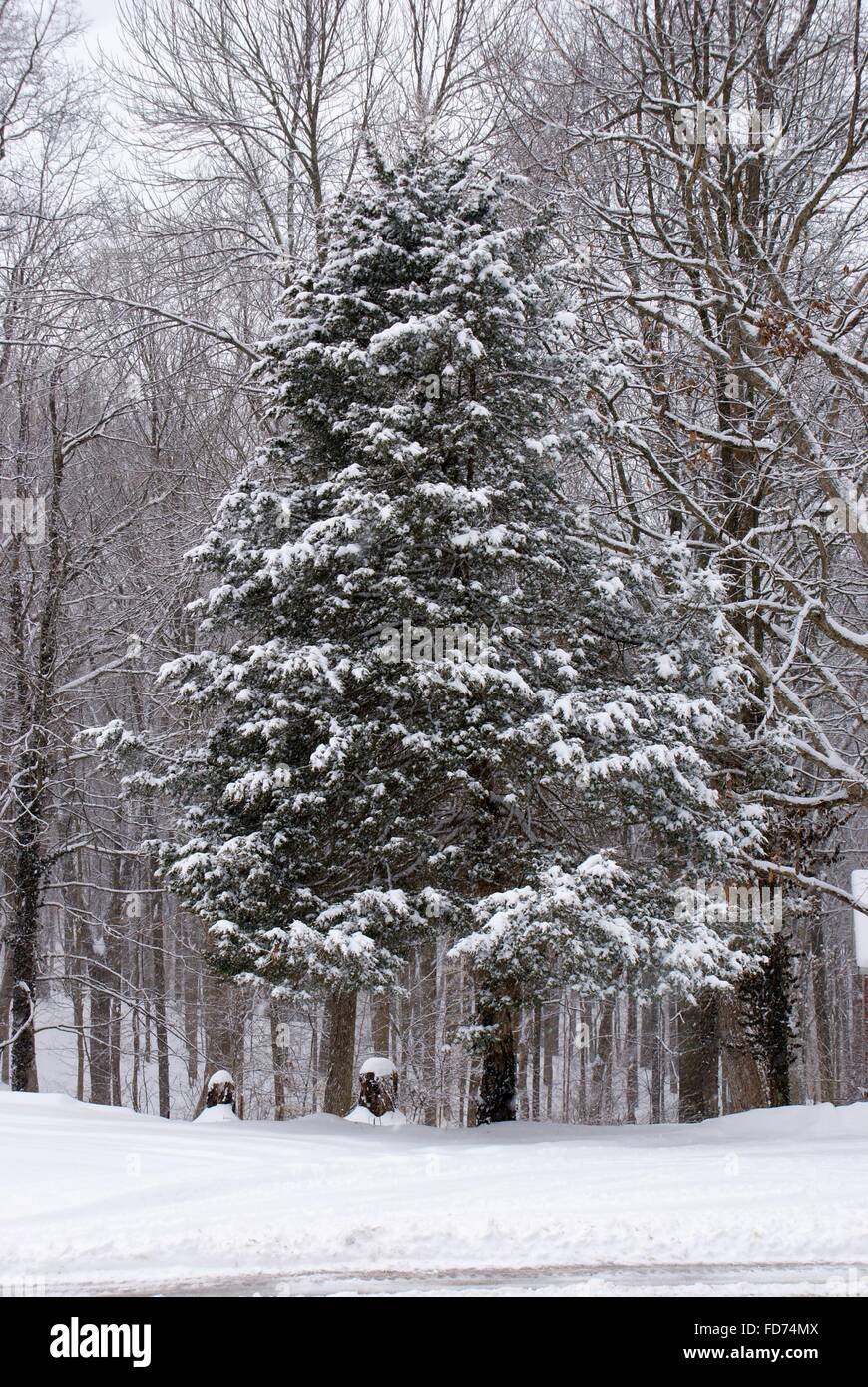 Snow on the evergreen trees sitting among bare trees in the woods. - Stock Image