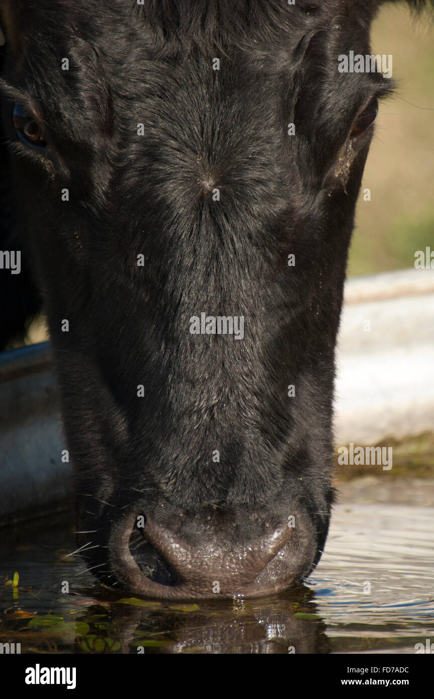Angus Cattle cow drinking water from trough in grass pasture - Stock Image