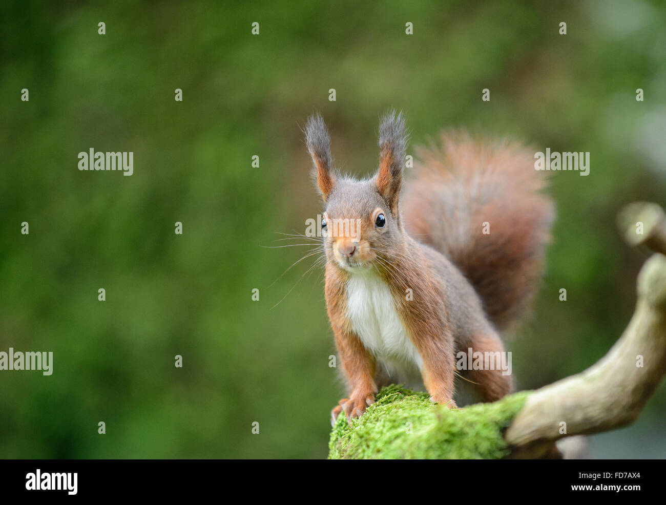 Red squirrel with large ear tufts - Stock Image