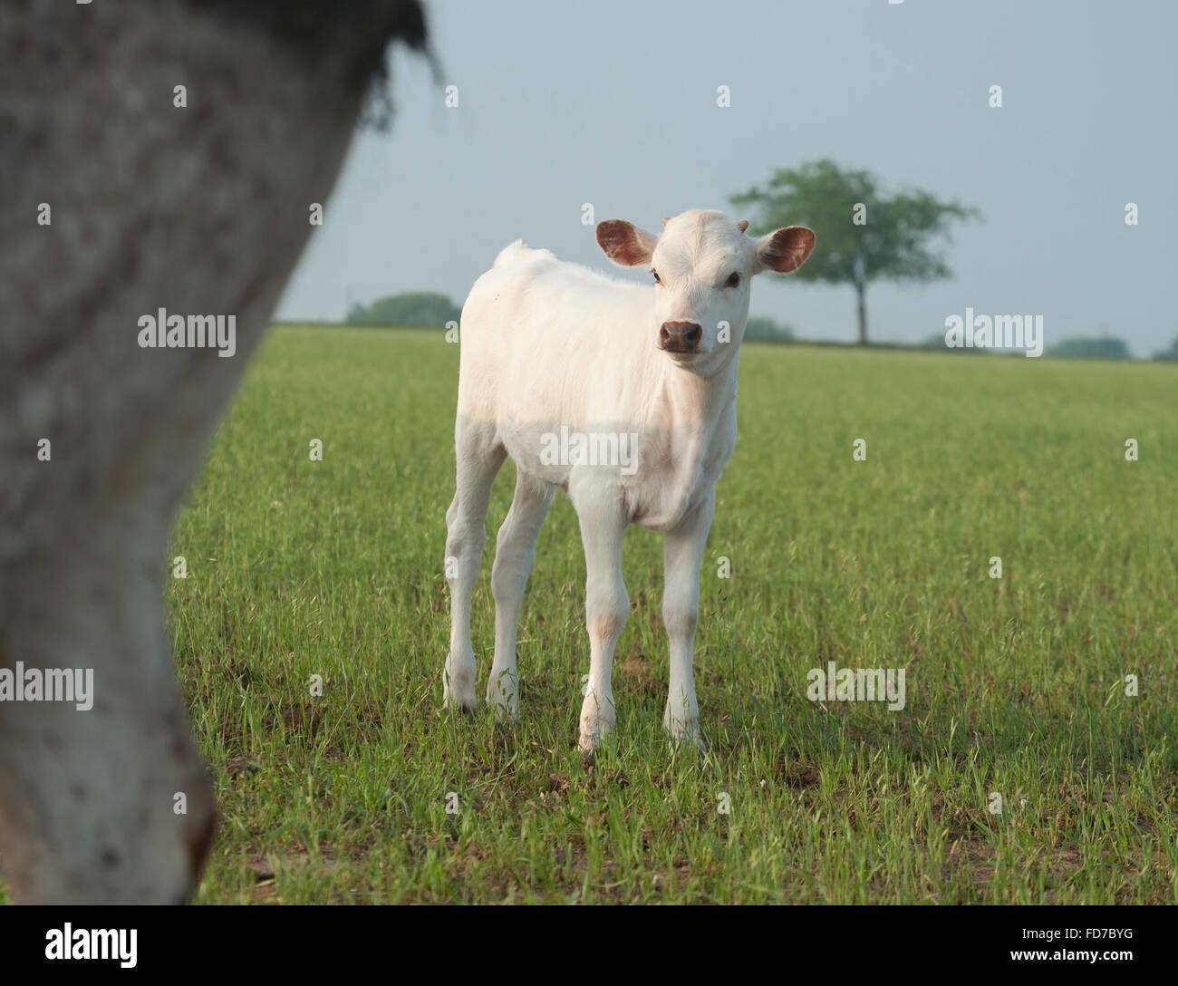 Texas longhorn cattle calf - Stock Image