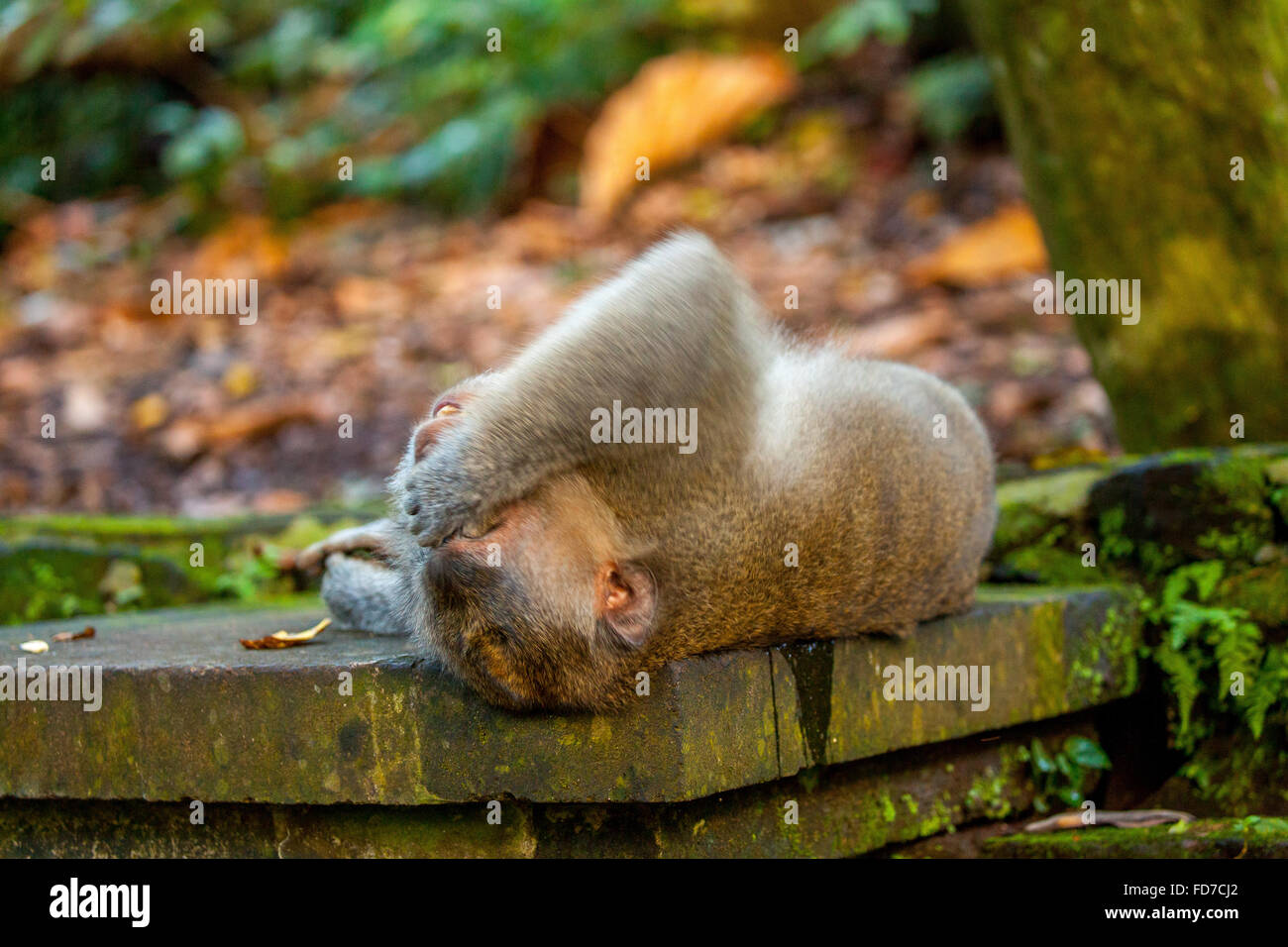 Long-tailed macaque (Macaca fascicularis), Monkey keeps your eyes, monkey lies on a stone wall, Ubud Monkey Forest, - Stock Image