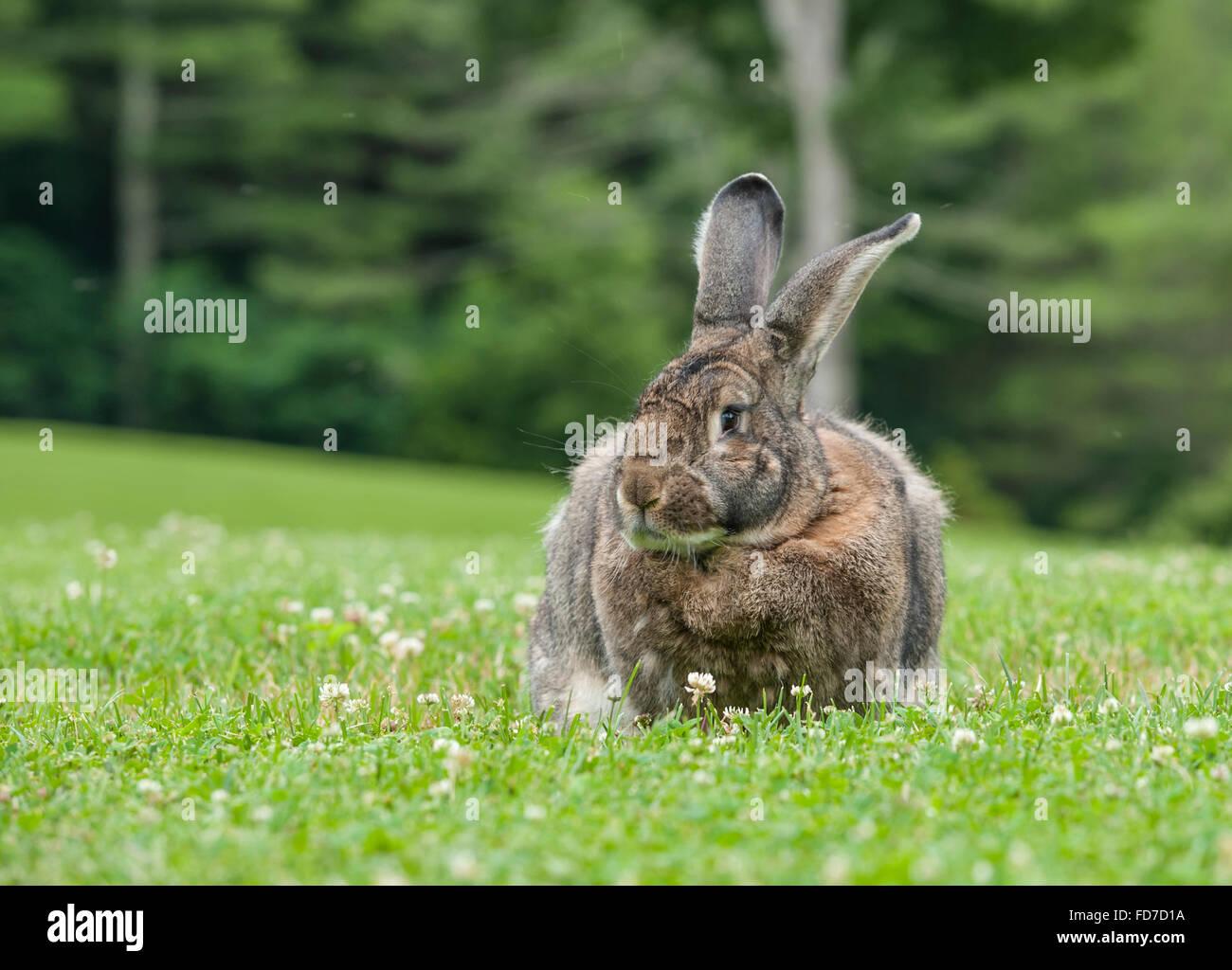 Flemish Giant rabbit on grass lawn - Stock Image