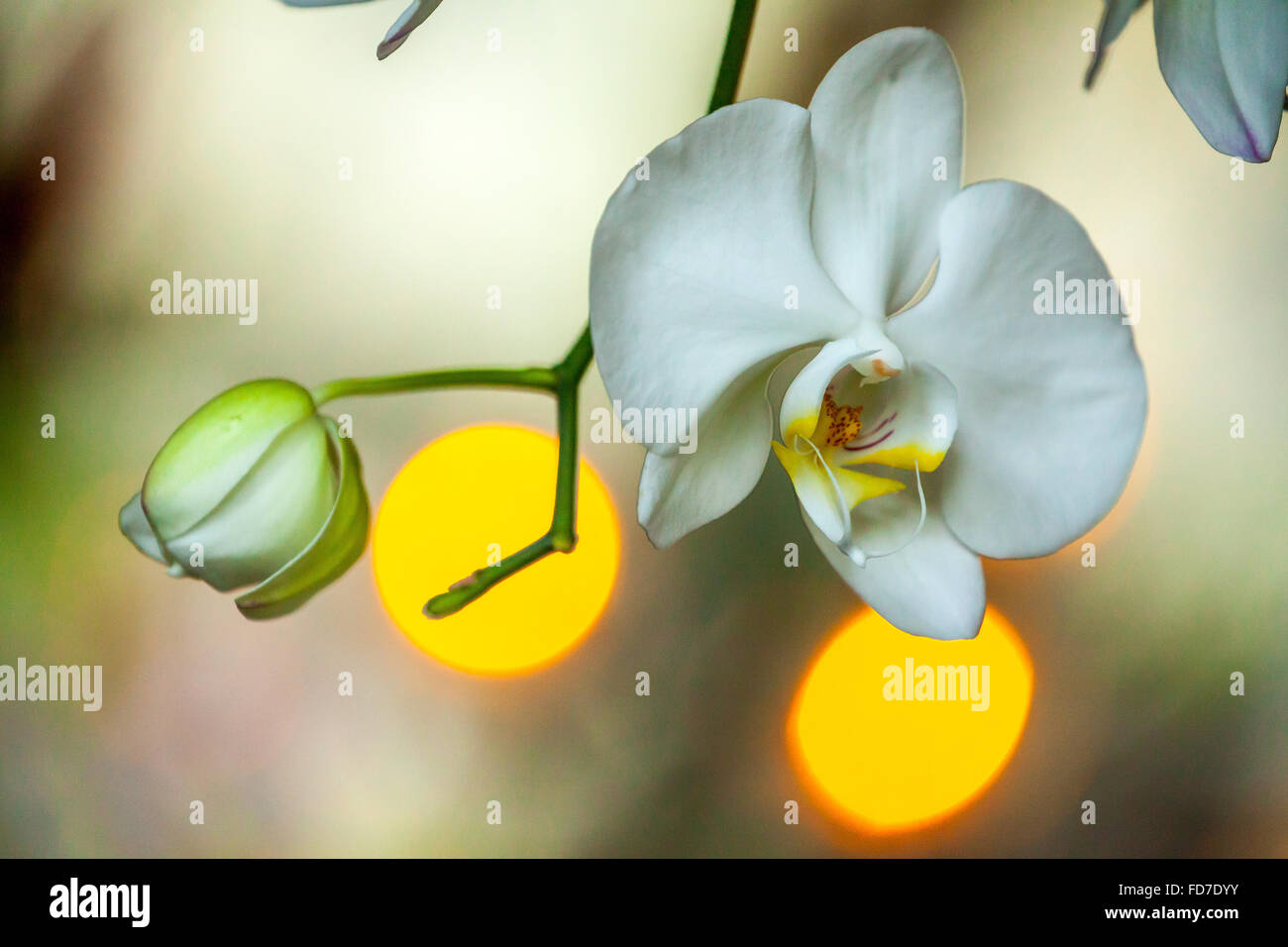 Orchid (Orchidaceae), with light reflections in the background, Ubud, Bali, Indonesia, Asia - Stock Image
