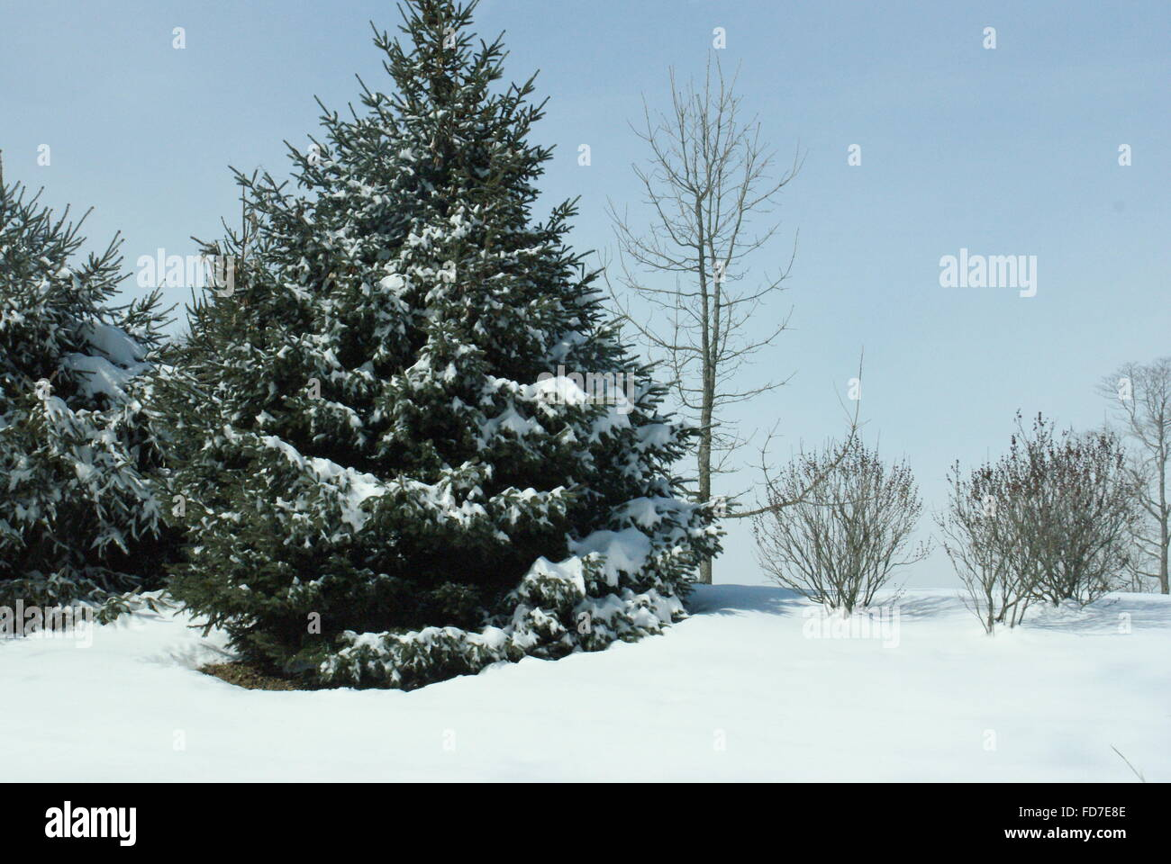 Evergreen trees with snow on them. - Stock Image