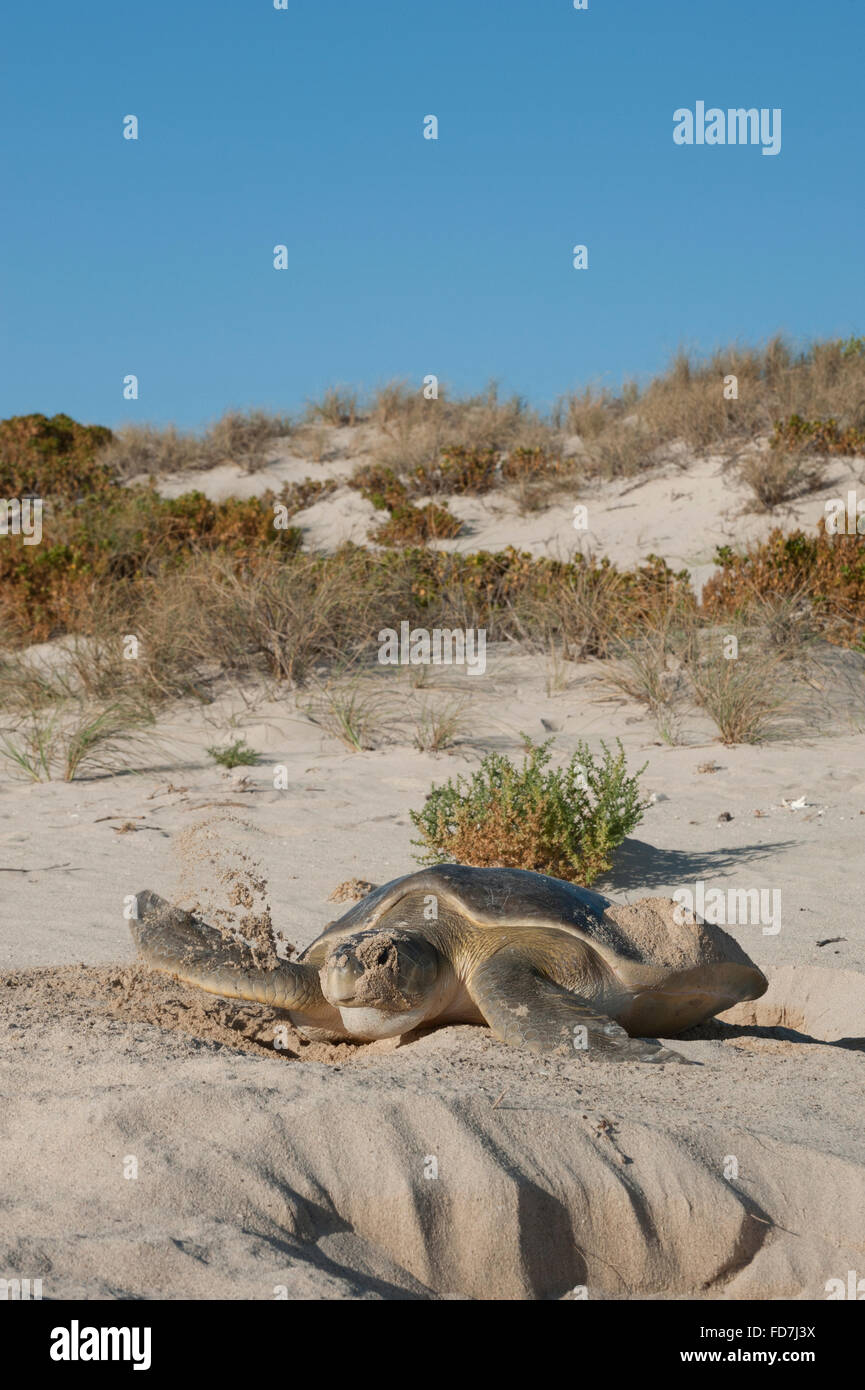 Australian flatback sea turtle (Natator depressus), endemic, female covering nest, Western Australia - Stock Image